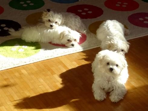 Four maltese puppies